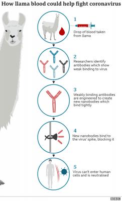 Coronavirus: Llamas provide key to immune therapy